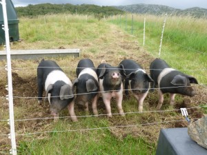 5 little pigs