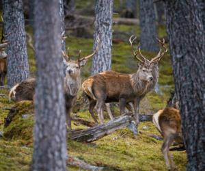 Red deer © Lister Cumming