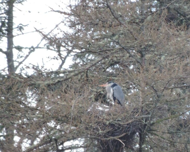Grey heron on its nest © Laura Traynor/Scottish Wildlife Trust