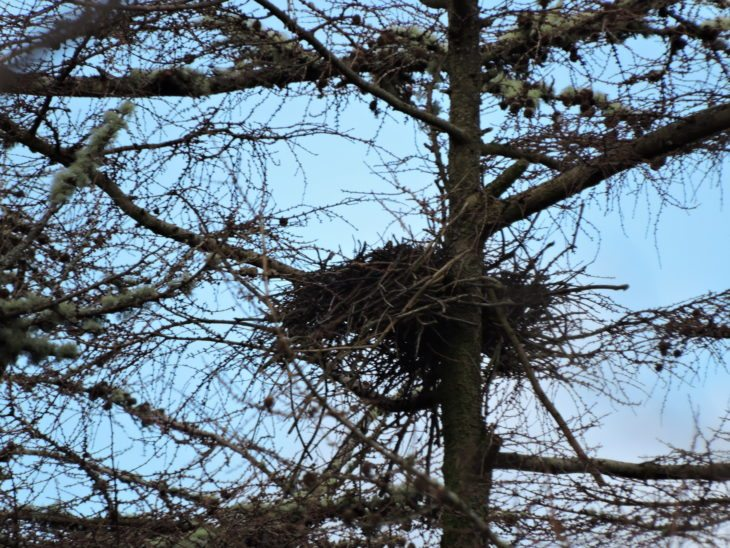 Heron nest in the trees © Laura Traynor/Scottish Wildlife Trust