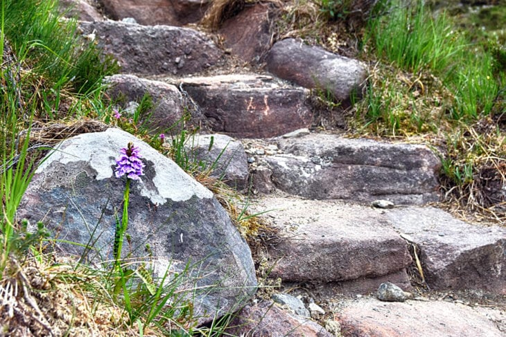 An orchid growing next to the repaired path. Photo © Chris Puddephatt.
