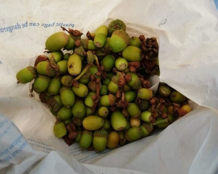 Gathered acorns